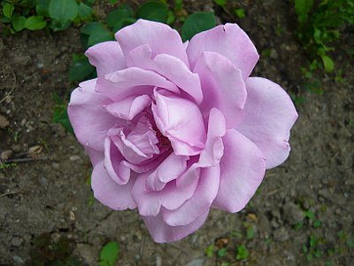 trandafir-1 image